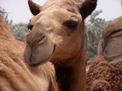 Camilla - the smiling Royal camel