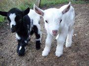 Photo#1-GoatCottage