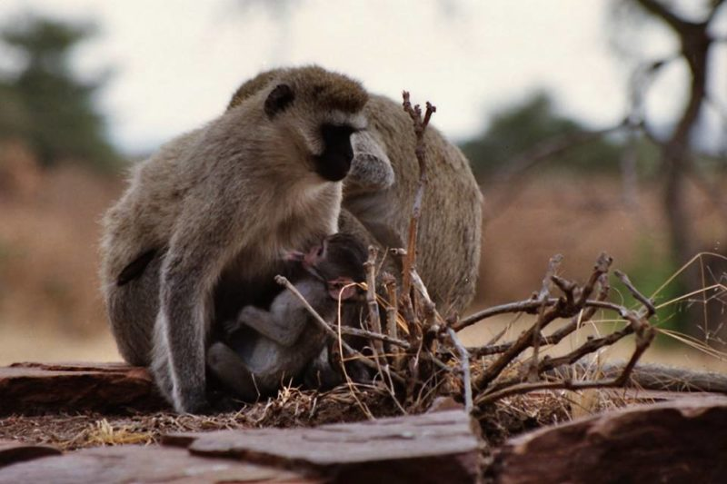 Photo#16-TanzaniaMonkeys