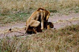 Photo#17-LionsScrewing