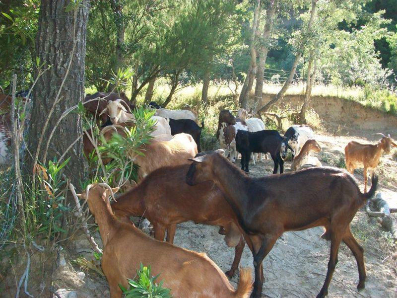 Photo#4-Goats