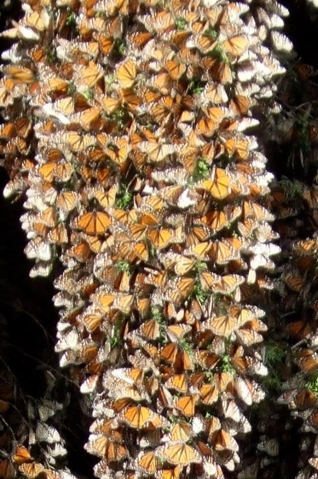 Photo#6-Monarchs